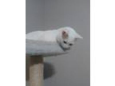 Adopt Olaf a White American Shorthair cat in North Adams, MA (25573925)