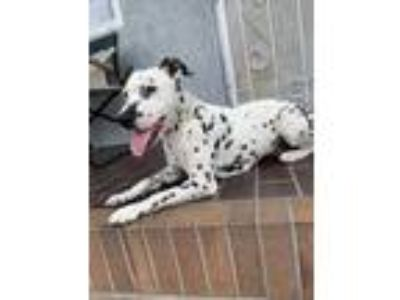 Adopt Elena a White - with Black Dalmatian / Mixed dog in National City