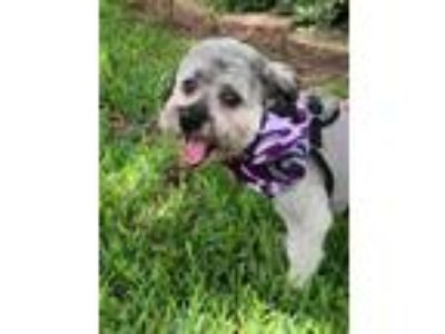 Adopt Howard a Lhasa Apso
