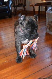 Elegant Presa Canario puppies for sale