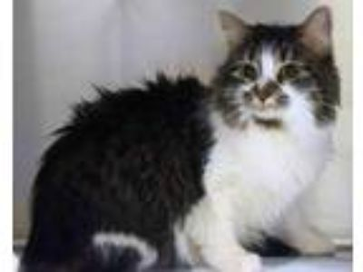 Adopt Morgie a Domestic Medium Hair
