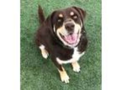 Adopt Woodrow a Brown/Chocolate Labrador Retriever / Rottweiler / Mixed dog in