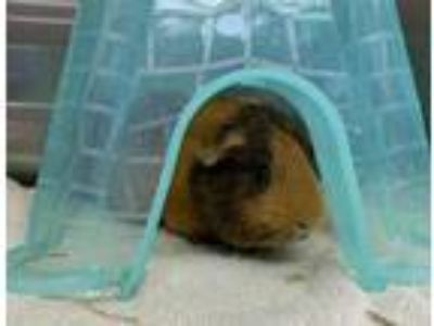 Adopt Spud a Orange Guinea Pig / Mixed small animal in Worcester, MA (25233455)