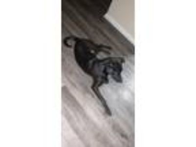 Adopt Coal a Brown/Chocolate - with Black Jack Russell Terrier / Labrador