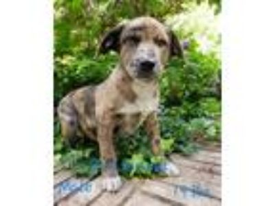 Adopt Chief Brody - Avail 7-17- NY a Gray/Blue/Silver/Salt & Pepper Catahoula