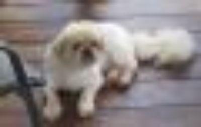 Doodles Pekingese Dog
