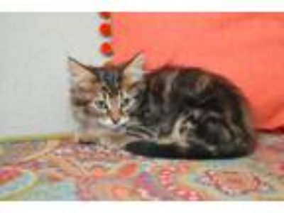 Adopt Witty Kitty a Domestic Medium Hair