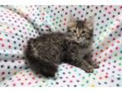 Adopt Aristotle a Domestic Short Hair