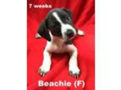 Adopt Summer's Puppy Beachie a Beagle