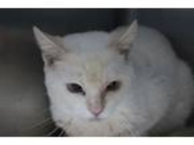 Adopt LAMBERT a Brown or Chocolate (Mostly) Siamese / Mixed (short coat) cat in