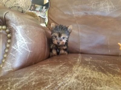 Yorkshire Terrier PUPPY FOR SALE ADN-97122 - Teacup Yorkie Girl