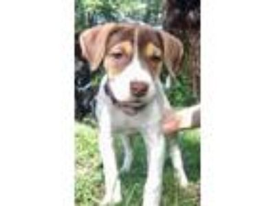 Adopt DaisyRR a Great Pyrenees, Hound