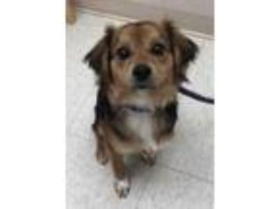 Adopt Jose a Brown/Chocolate Pomeranian / Mixed dog in Noblesville