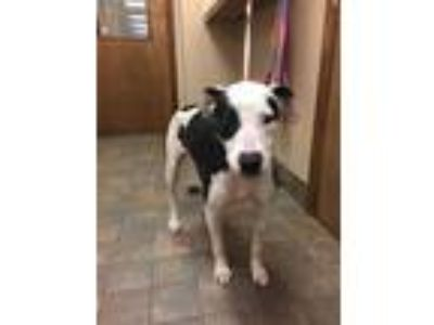 Adopt Cowgirl a Pit Bull Terrier
