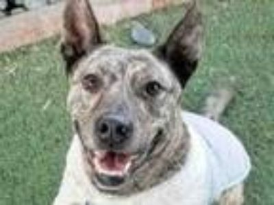 Adopt TIGRE a German Shepherd Dog, Mixed Breed