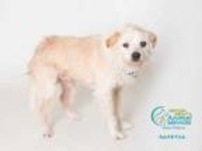 Adopt SCRAPPY a White Jack Russell Terrier / Border Terrier / Mixed dog in