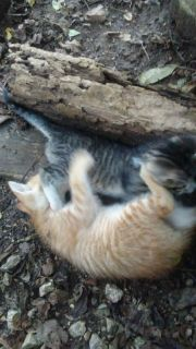 Kittens - Springfield Classifieds - Claz org