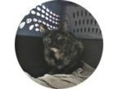 Adopt Fallon a Tortoiseshell American Shorthair / Mixed cat in Orlando