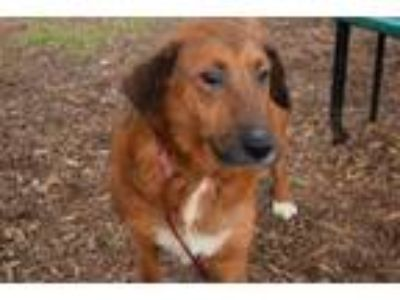 Adopt Biscuit a Brown/Chocolate Shepherd (Unknown Type) / Chow Chow / Mixed dog