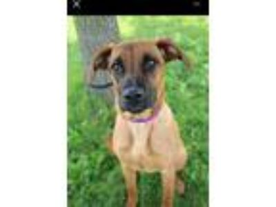 Adopt Pippa a Red/Golden/Orange/Chestnut - with Black Shepherd (Unknown Type)