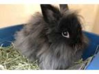 Adopt Mr. Fluffster a Black Jersey Wooly / Jersey Wooly / Mixed rabbit in