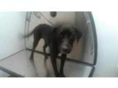 Adopt a Black - with White Labrador Retriever / Mixed dog in Fort Lauderdale