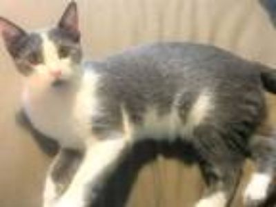 Adopt Bristol a Gray or Blue (Mostly) Domestic Shorthair (short coat) cat in