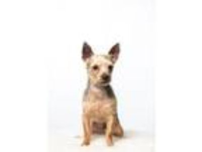Adopt Banks a Yorkshire Terrier