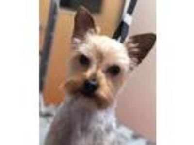 Adopt Stanley a Yorkshire Terrier
