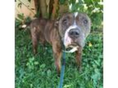 Adopt Lucy a Black American Pit Bull Terrier / Mixed dog in Philadelphia