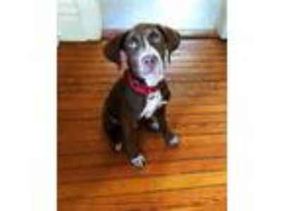Adopt Russell a Pointer, Labrador Retriever