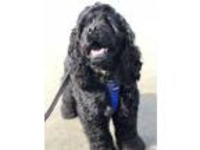 Adopt Cody a Black Cocker Spaniel / Mixed dog in Port Orchard, WA (24725108)