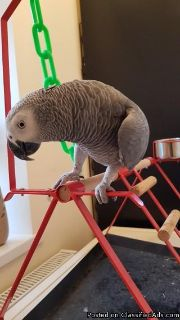 well tame African Grey Parrot