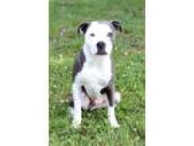 Adopt Chaos a Black - with White Pit Bull Terrier / Mixed dog in Waldorf