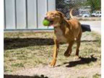 Adopt Jaco a Red/Golden/Orange/Chestnut Vizsla / Mixed dog in Bisbee