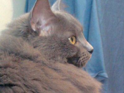 Home needed for Russian Siberian Cat