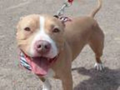 Adopt HERSHEY a American Staffordshire Terrier