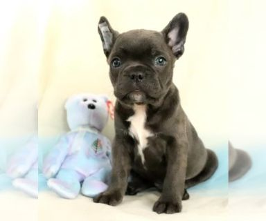 Mutt PUPPY FOR SALE ADN-130308 - Sweet Frenchton Puppies