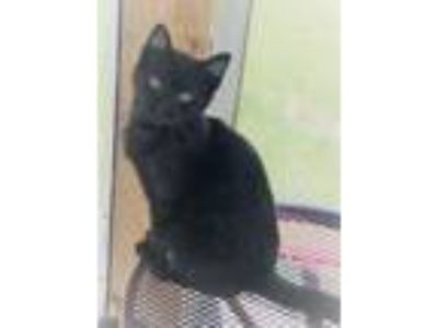 Adopt Iago a Domestic Short Hair