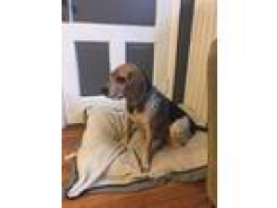Adopt Diesel a Tricolor (Tan/Brown & Black & White) Beagle / Mixed dog in White