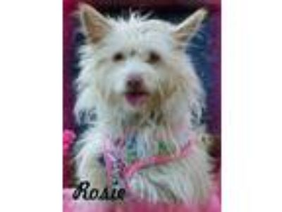 Adopt ROSIE a Tan/Yellow/Fawn - with White Westie, West Highland White Terrier /