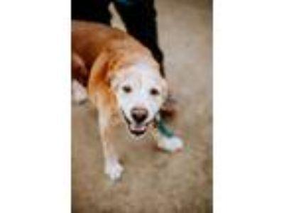 Adopt Tye a Labrador Retriever, Hound