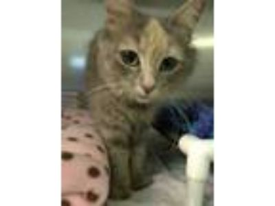 Adopt Owlette a Gray or Blue Domestic Shorthair / Domestic Shorthair / Mixed cat