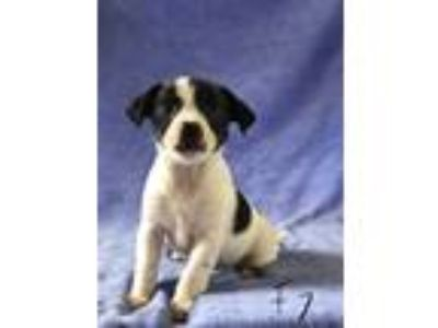 Adopt Precious a White - with Black Pomeranian / Beagle / Mixed dog in