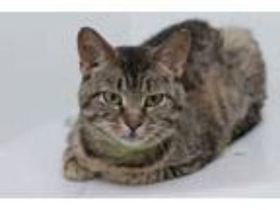 Adopt Rainbow a Brown or Chocolate Domestic Shorthair / Domestic Shorthair /