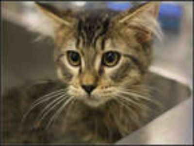 Adopt a Brown Tabby Domestic Longhair / Mixed (long coat) cat in Plano