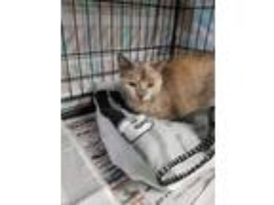 Adopt Clover a Calico or Dilute Calico Domestic Shorthair (short coat) cat in