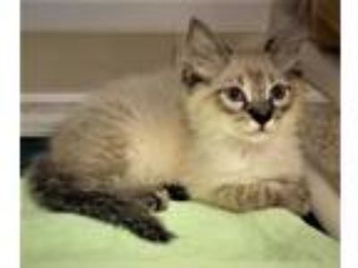 Adopt Kitten Donald a Cream or Ivory (Mostly) Domestic Longhair / Mixed (long