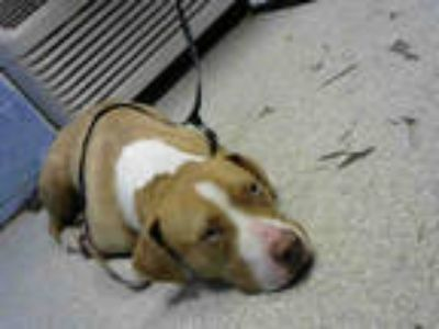 Adopt APACHE a Brown/Chocolate American Pit Bull Terrier / Mixed dog in Atlanta