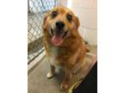 Adopt B-Dawg a Brown/Chocolate Pomeranian / Mixed dog in Danville, PA (25651377)